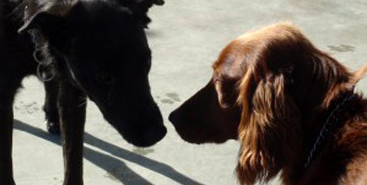 Dos perros se olisquean para poder identificarse