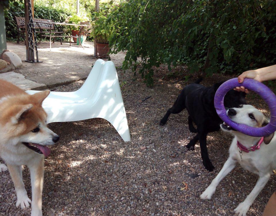 Perros jugando en Peludos con un puller