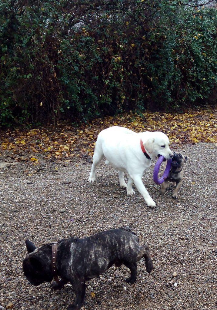 Perros cachorros jugando con mordedor en Peludos