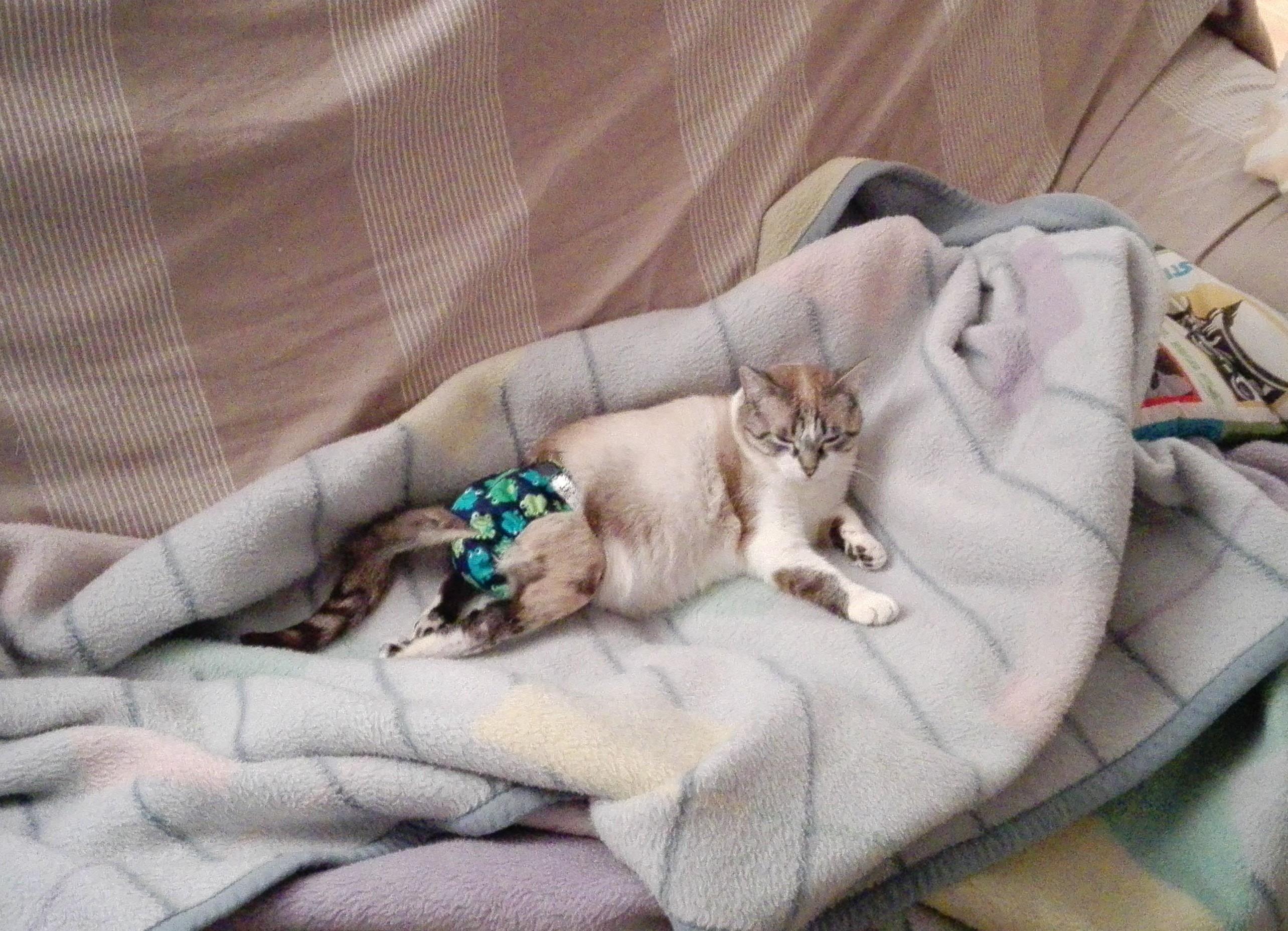 gato paralítico
