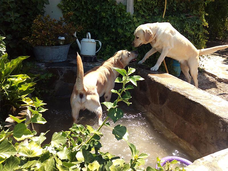 Uno de los perros disfruta de un refrescante baño en el estanque de Peludos Residencia Canina y Felina