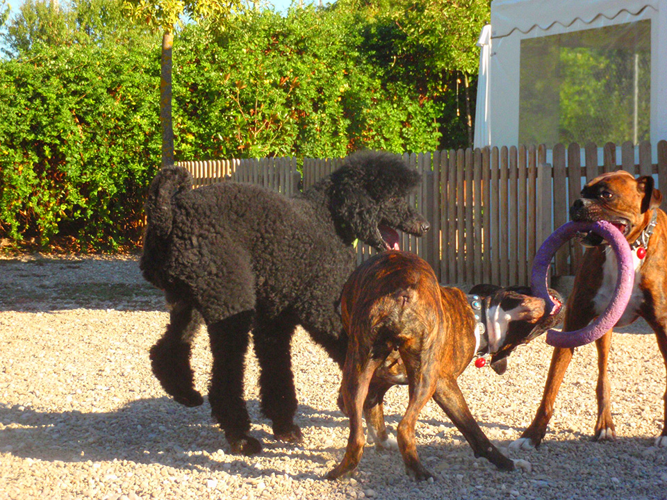 Varios perros juegan con un aro en la zona de recreo