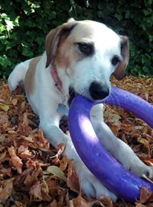 Un perros jugando con un aro