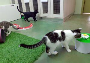 Los gatos adoran el agua fresca de las fuentes de la residencia felina