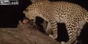 Leopardo en un documental en África