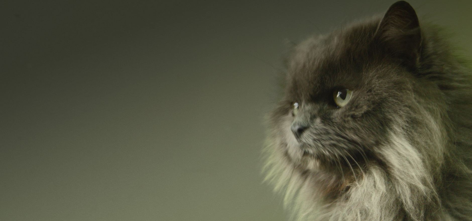 Gata persa en residencia canina y felina Peludos