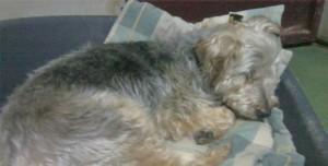Perro Yorkshire durmiendo en Peludos Hotel Felino