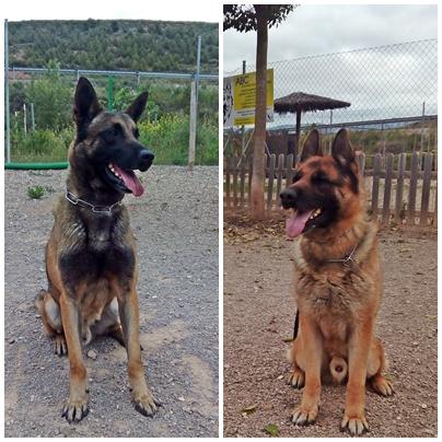 Perros el ejército de tierra