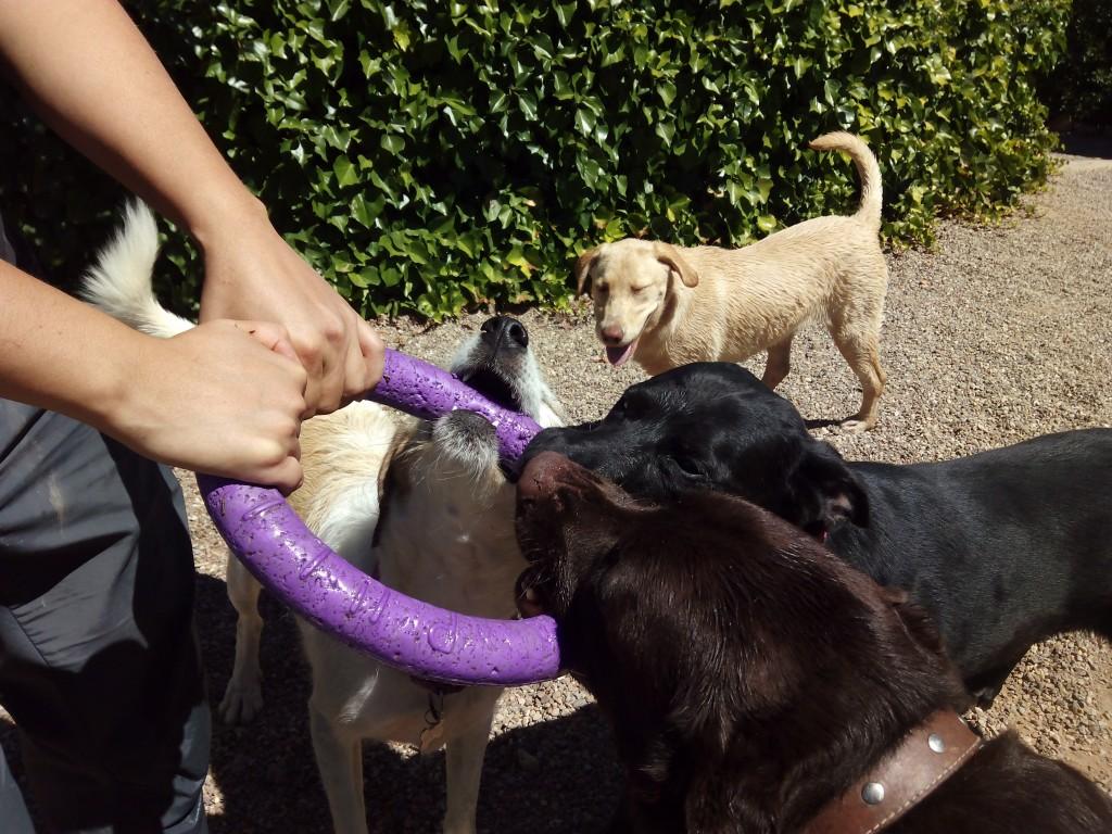 Varios perros juegan con un puller en Peludos residencia canina y felina
