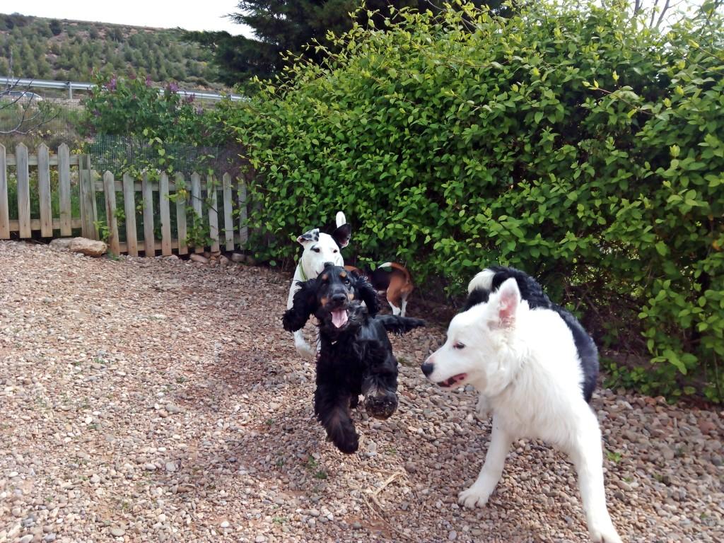 Un cocker, un border collie y una mestiza juegan en la guardería de día de Peludos residencia canina y felina