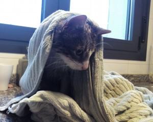 Gato común adoptado por responsable de Peludos