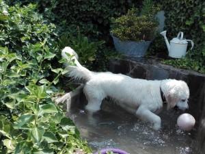 Golden jugando con agua en Peludos