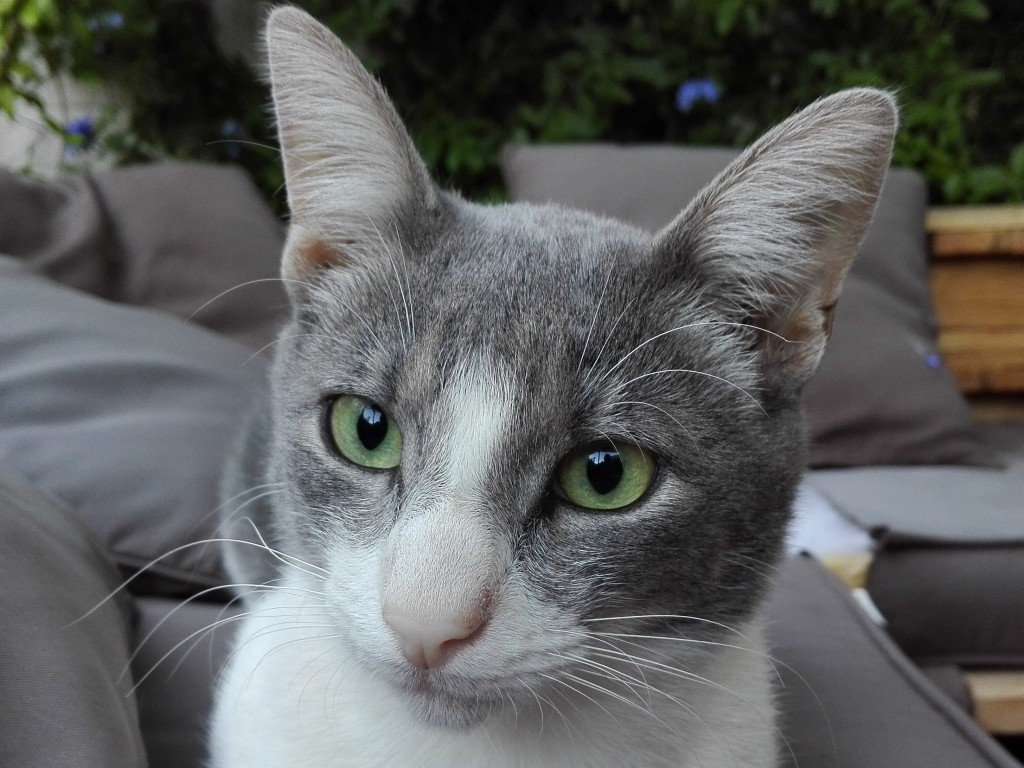 Gato común de la residencia Peludos