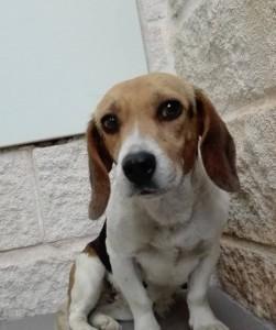 Beagle en adopcíon