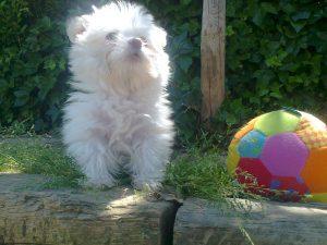 Perro toy en Peludos