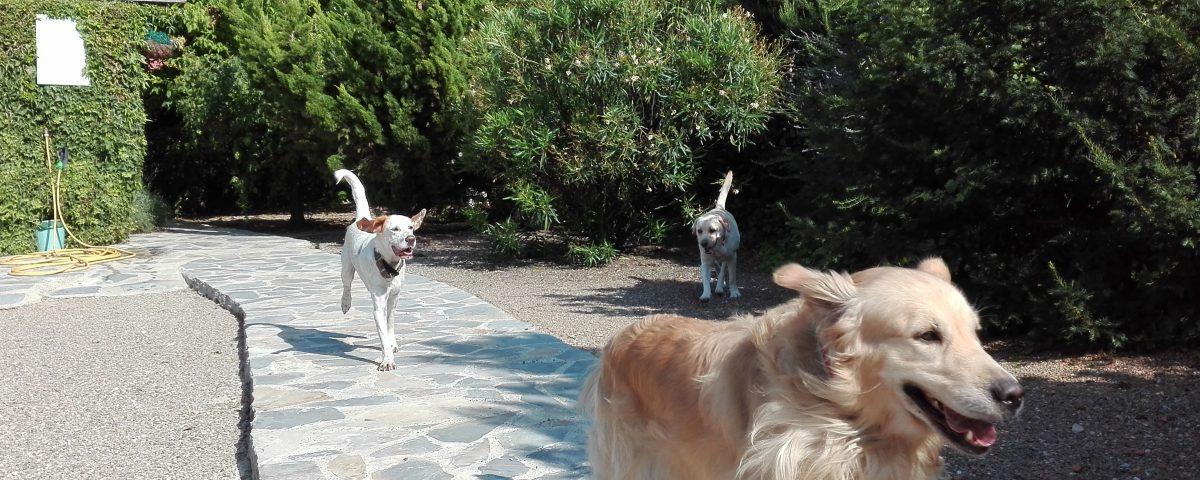 perros, uno un golden, jugando en Peludos, en La Rioja