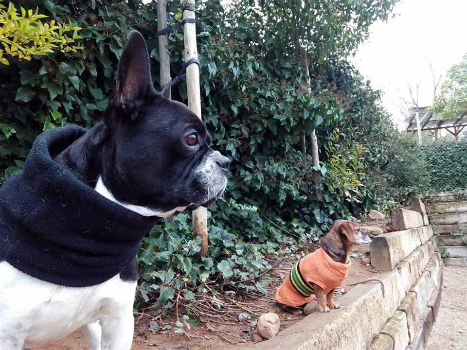 buldog francés y ratonera con abrigo en peludos, residencia canina y felina