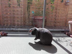 Conejos, hurones y chinchillas toman relajantes baños de sol en Peludos