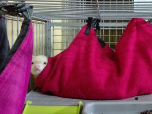 Los hurones adoran explorar el hotel Peludos, ¡y también dormir!