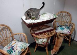 Los gatos disfrutan de los sillones y columpios de las suites